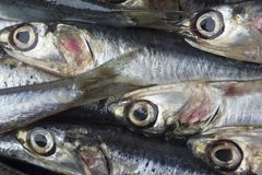 Raw anchovies in a group. Raw anchivies in a group macro Royalty Free Stock Image