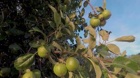 Raw apple at spring time stock footage