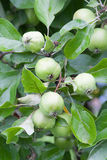 Raw apples on a branch. With water-drops Stock Images