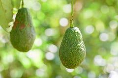 Raw avocado fruit hanging on tree Royalty Free Stock Images