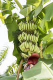 Raw Banana fruit with banana leaves in nature Royalty Free Stock Images
