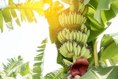 Raw Banana fruit with banana leaves in nature Royalty Free Stock Photo