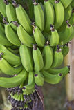 Raw banana fruit Royalty Free Stock Images
