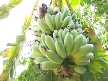 Raw banana Stock Image