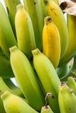 Raw banana tree ,  Fruit has health benefits Royalty Free Stock Photography