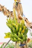 Raw banana tree ,  Fruit has health benefits Stock Photography