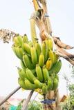 Raw banana tree ,  Fruit has health benefits Royalty Free Stock Photos