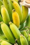 Raw banana tree ,  Fruit has health benefits Royalty Free Stock Photo