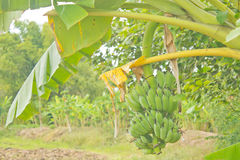 Raw bananas on the tree Stock Images