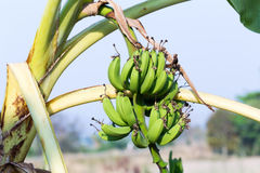 Raw bananas on the tree Stock Photography