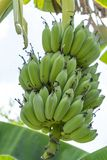 Raw bananas on the tree. royalty free stock images