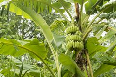 Raw bananas are on the tree. Royalty Free Stock Image
