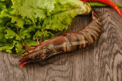 Raw big tiger prawn. Ready for cooking Stock Image