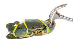Raw black crab tied with rope yellow and hammered on white backg. Raw black crab tied with rope yellow and hammered Royalty Free Stock Photos
