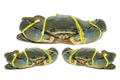 Raw black crab tied with rope yellow on white background. Royalty Free Stock Image