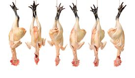 A raw black feet chicken ready for cooking. royalty free stock image