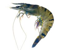 Raw black tiger prawn