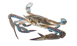 Raw blue crab. Ready to cook Royalty Free Stock Images