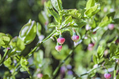 Raw blueberries. Wild raw blueberries, in the green forrest Royalty Free Stock Photography
