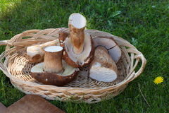 Raw Boletus Mushrooms Stock Image