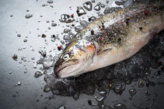 Raw brown trout on ice. Fresh fish. Top view, copy space. Food background Royalty Free Stock Photography