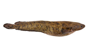 Raw burbot isolated Royalty Free Stock Image