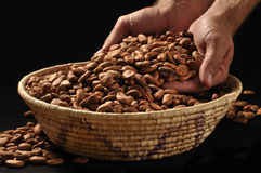 Raw cacao. Hands of man scooping raw cacao beans in basket on black background stock image