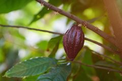 Raw cacao fruit pod. On tree branch close up royalty free stock images