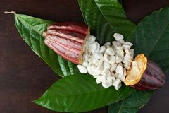 Raw cacao material. Open cocoa pod with fresh wet beans royalty free stock images