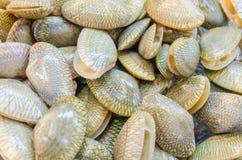 Raw Carpet clam Stock Images