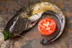 Raw catfish on an old table. Close-up. Top view. Raw catfish on an old table. Close-up Stock Image