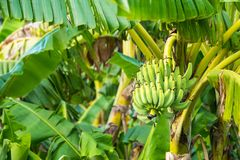 The raw cavendish banana leaves and leaves on the plant in the p Royalty Free Stock Images