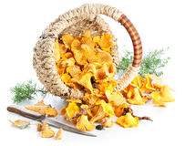 Raw chanterelles in basket Stock Photography