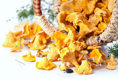 Raw chanterelles in basket Stock Image