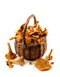 Raw Chanterelles Mushrooms. Arrangement of Fresh Raw Chanterelles with Dry Leafs and Stems in Wicker Basket closeup on White background Royalty Free Stock Image