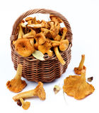 Raw Chanterelles Mushrooms. Fresh Raw Chanterelles with Dry Leafs and Stems in Wicker Basket closeup on White background Stock Photos