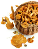 Raw Chanterelles Mushrooms. Wicker Basket Full of Fresh Raw Chanterelles with Dry Leafs Cross Section on White background Royalty Free Stock Images