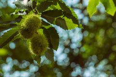 Raw chestnuts on branch of tree with blur background royalty free stock image
