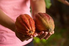 Raw chocolate fruit pod. In woman hands close-up view royalty free stock images