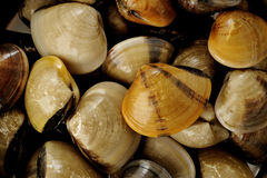 Raw clams background Royalty Free Stock Images