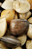 Raw clams background. Fresh clams Stock Photography