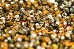 Raw clams close up,selection focus.  Royalty Free Stock Photography