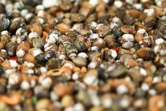 Raw clams close up,selection focus.  Stock Photography