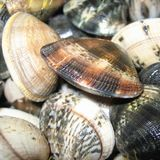 Raw Clams closeup. In a kitchen Stock Image