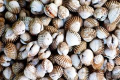 Raw Clams in the market. Raw Clams in the fish market in Ho Chi Minh CIty in Vietnam Royalty Free Stock Photo