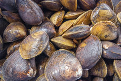 Raw clams for sale at a market. Raw clams for sale at a fish market Stock Photography