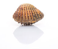 Raw Cockle II Stock Images