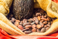 Raw Cocoa Beans and Pod in Burlap Stock Image