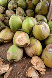 Raw Coconuts at the Coconut Farm. for Cooking Stock Image