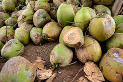 Raw Coconuts at the Coconut Farm. for Cooking Stock Images